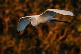 Great egret sunset cruise