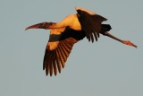Wood stork flying at sunset