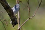 Blue-grey gnatcatcher on a branch