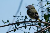 Blue-headed vireo in the trees