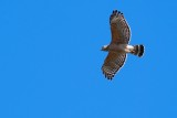 Red-shouldered hawk circling in the sky