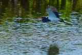 Tricolor heron low over the water