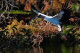 Wood stork bringing back nest materials