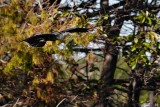 Anhinga flying against a very busy background