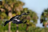 Anhinga flying with nest materials