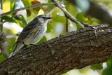 Partial-leucistic yellow-rumped warbler