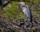 Great blue heron with her chick