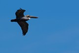 Brown pelican flying past