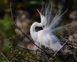 Great egret mating display