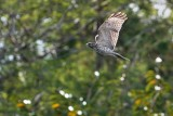 Juvenile red-shouldered hawk in flight