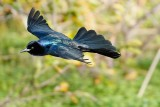 Boat tailed grackle in flight