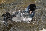 Boat tailed grackle having a bath