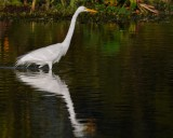 Great egret wading
