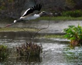 Wood stork flying with a huge branch