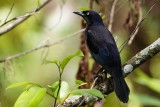 Common grackle