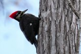 Pileated woodpecker on a cypress trunk
