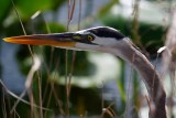 Closeup with great blue heron
