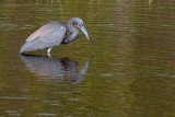Tricolor heron in the water