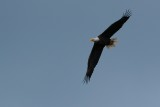 Bald eagle circling around