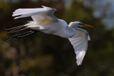 Great egret flying close