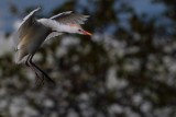 Cattle egret about to land