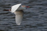 Cattle egret flying low over the water