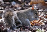 Squirrel eating flower seeds