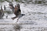 Osprey emerging from the water with a fish