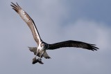 Osprey approaching with a fish