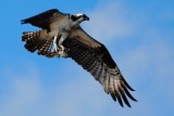 Osprey flying close by with a fish