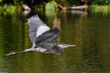 Great blue heron flying low