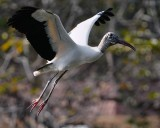 Wood stork flying up