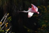 Sun blown roseate spoonbill