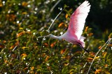 Roseate spoonbill blown out against the sun
