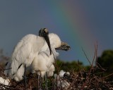 Wood storks with rainbows
