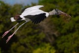 Wood stork flying close