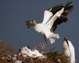 Wood stork landing with much protest