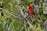 Cardinal singing in a tree