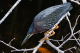 Green heron perched over the water to hunt