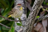 Palm warbler with full male colors