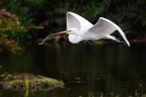 Great egret flying over the water