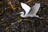 Great egret flying past the nest island