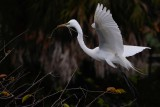 Great egret coming in with nest materials
