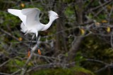 Snowy egret in mating colors flying by