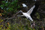Wood stork with nest materials landing