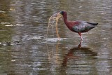 Glossy ibis gathering nest materials