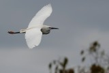 Great egret flying through cloudy sky
