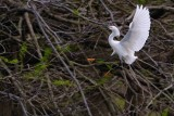 Snowy egret braking to land