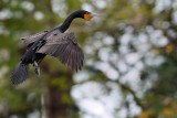 Cormorant about to land