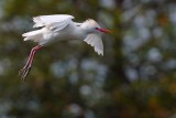 Cattle egret in mating colors flying by